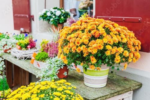 Fotografia, Obraz Beautiful chrysanthemums in pots, outdoors