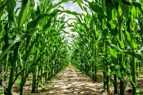 High corn crops on a row Fototapete