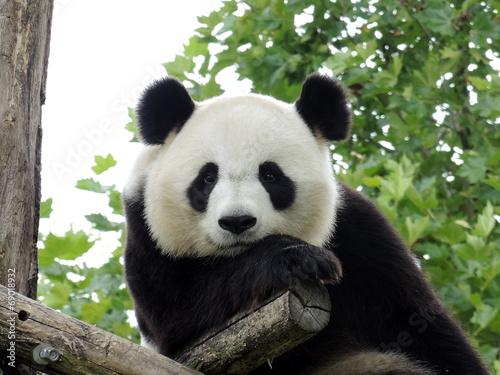 Panda Géant 3 Fototapete