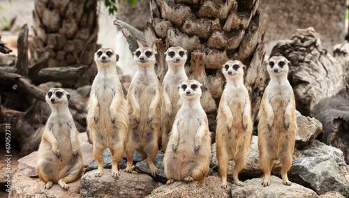 Fotografie, Obraz Portrait of meerkat family
