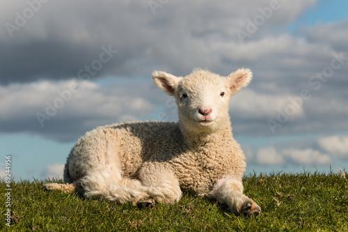 Fotografie, Obraz basking little lamb