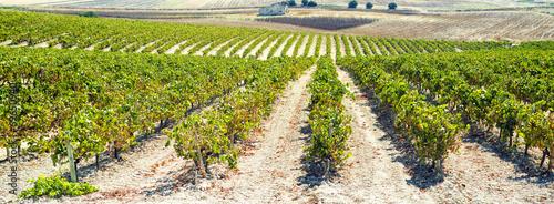 Obraz na plátně Panoramic vineyard
