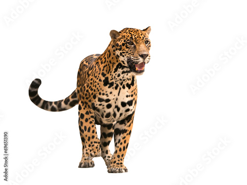 Fototapeta premium jaguar (panthera onca) na białym tle