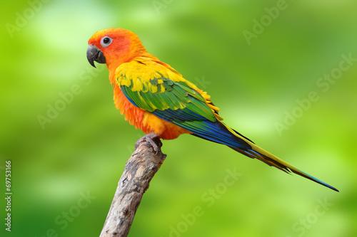 Fotografia Sun Conure parrot bird