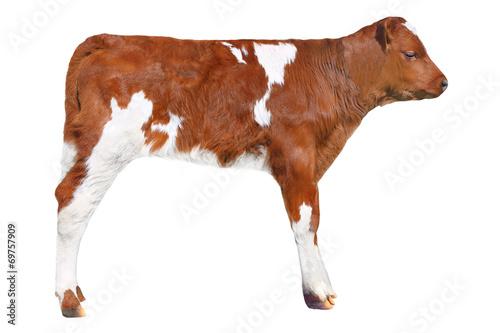 Canvas Print brown calf