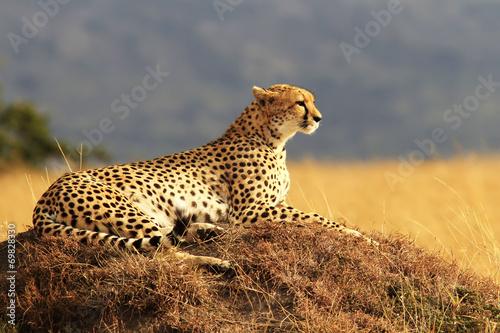 Fotografia Gepard na Masai Mara w Afryce