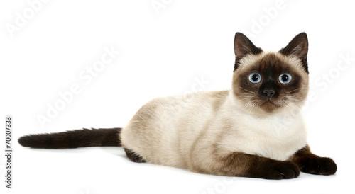 Fotografia Brown beige cat with blue eyes lies down