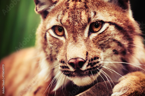 Muzzle of wild lynx close-up #70656979