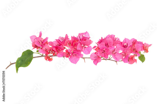 Photo Pink blooming bougainvilleas isolate on white background