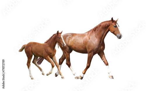 Foto Chestnut horse and its cute foal running fast