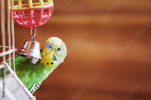 Wallpaper Mural Domestic budgie sitting with his toy friend.