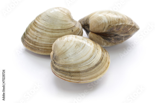 Fényképezés hard clam, quahog isolated on white background