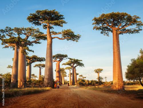 Obraz na płótnie Baobabs