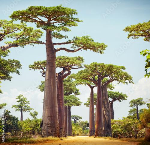 Fotomural Baobabs