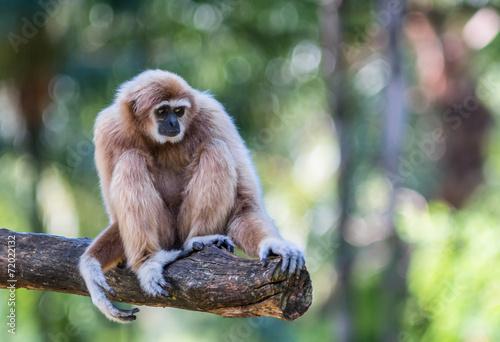 Valokuvatapetti White Cheeked Gibbon or Lar Gibbon