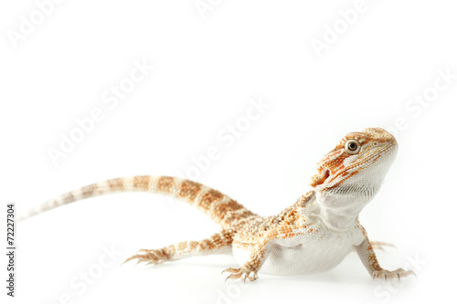 Carta da parati Pet lizard Bearded Dragon isolated on white, narrow focus