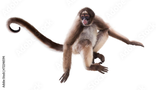 long-haired spider monkey
