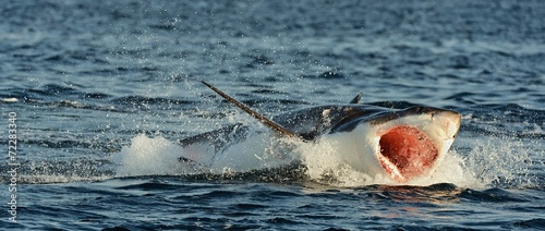 Great White Shark (Carcharodon carcharias) in an attack  #72283340