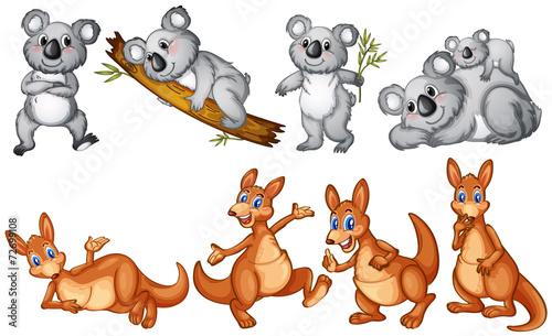 Fototapeta premium Koale i kangury