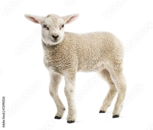 Fotografia Lamb (8 weeks old) isolated on white