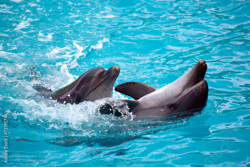 Two dolphins close up. Adler.