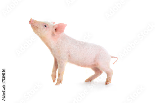 Obraz na płótnie świnia