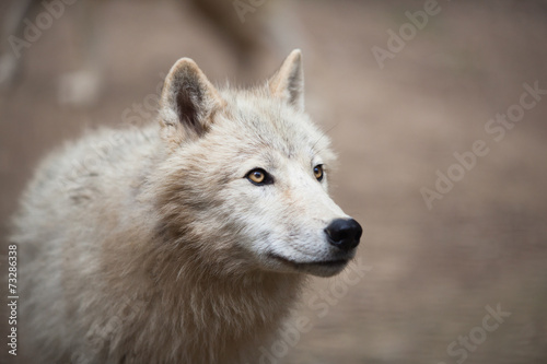 Arctic Wolf (Canis lupus arctos) aka Polar Wolf or White Wolf - #73286338