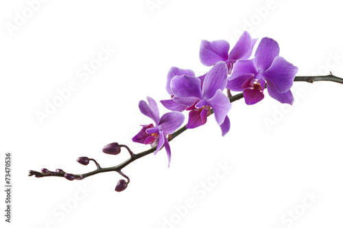 Canvas Print purple Dendrobium orchid on white background
