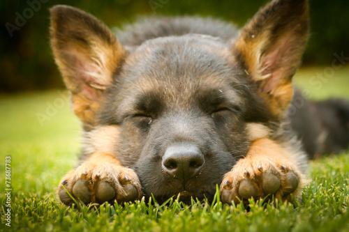 Canvas Print German shepherd puppy sleeping on a warm summer day on a warm su