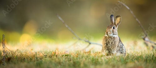 Fotografie, Obraz Cute rabbit in grass