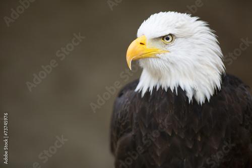Bald headed eagle, side profile. Fotobehang