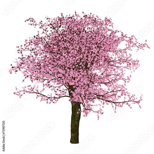 Foto Sakura tree, cherry, isolated