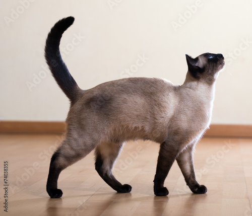 Fotografia full length shot of  siamese cat