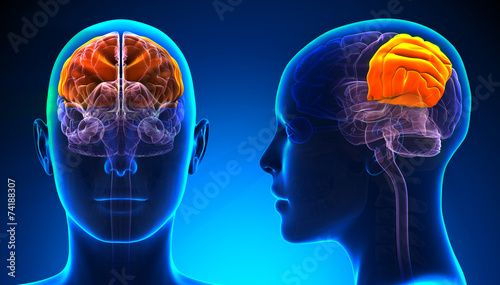 Stampa su Tela Female Parietal Lobe Brain Anatomy - blue concept