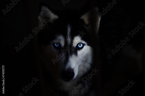 Fototapeta Sibiřský husky