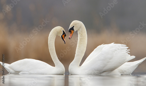 Fotografie, Obraz Two swans in love and nice blurred background