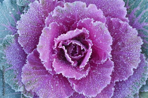 Fotografia Ornamental decorative cabbage covered with a morning frost