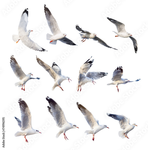 Carta da parati flying seagull actions isolated on white