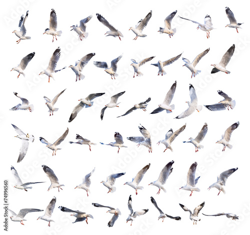 Wallpaper Mural flying seagull actions isolated on white
