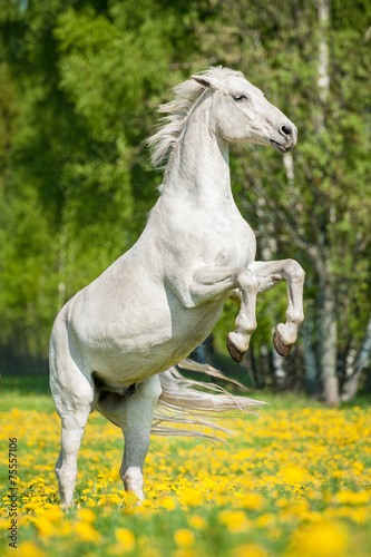 Fotografia, Obraz Beautiful white horse rearing up on the field with dandelions