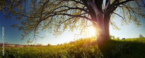 Fotografija Oak tree