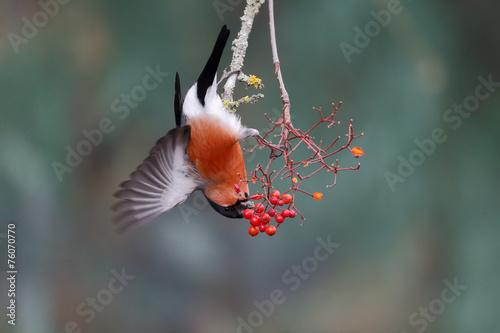 Slika na platnu Bullfinch, Pyrrhula pyrrhula