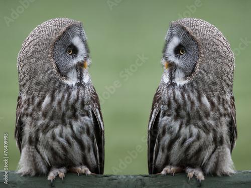 Canvas Print Great grey gray owls