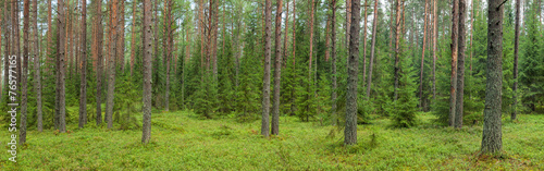 Summer forest panorama #76577165
