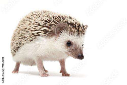 Obraz na plátne Hedgehog sniffing around