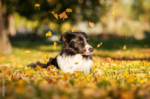 Foto Portrait of border collie lying on lawn in autumn