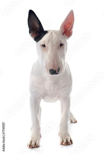 puppy bull terrier Fototapete