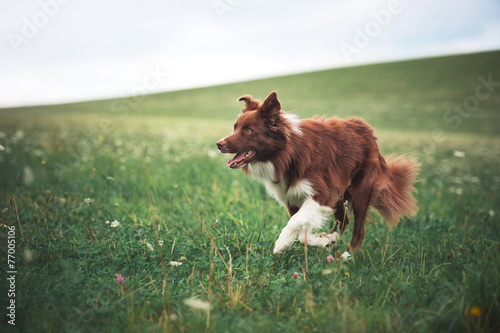 Foto Red border collie dog running in a meadow