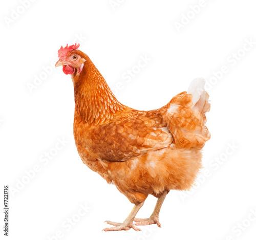 Fotografie, Obraz full body of brown chicken hen standing isolated white backgroun