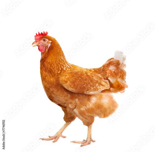 Photographie Complet du corps brun poule poulet debout isolé backgroun blanc